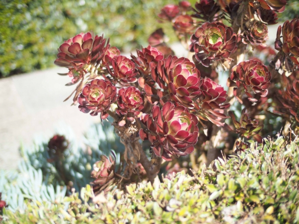 The Aeonium species of plants is used in both the North and South and Civic and Contemporary Planting Palettes