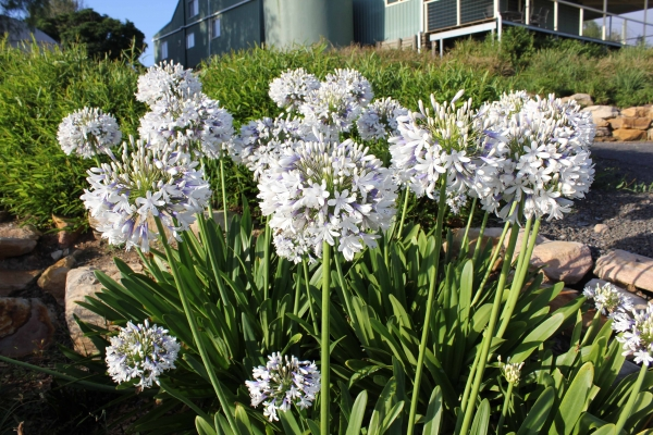 Agapanthus are a common species of plantings used on Terraces
